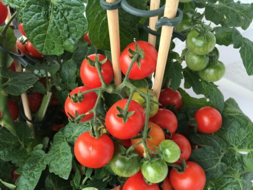 You can grow tomatoes in a container!