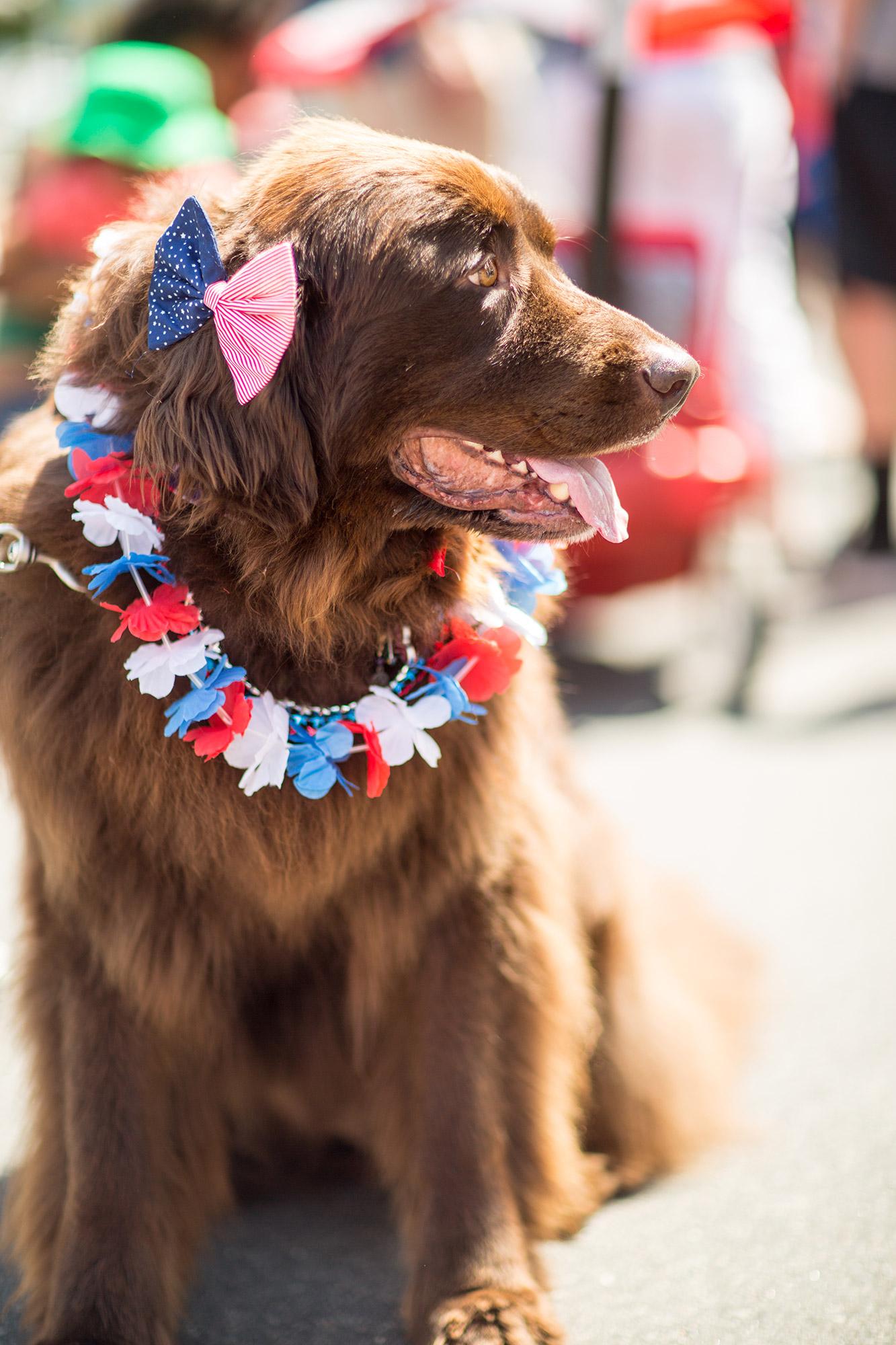 4th of July Dog at The Pinehills